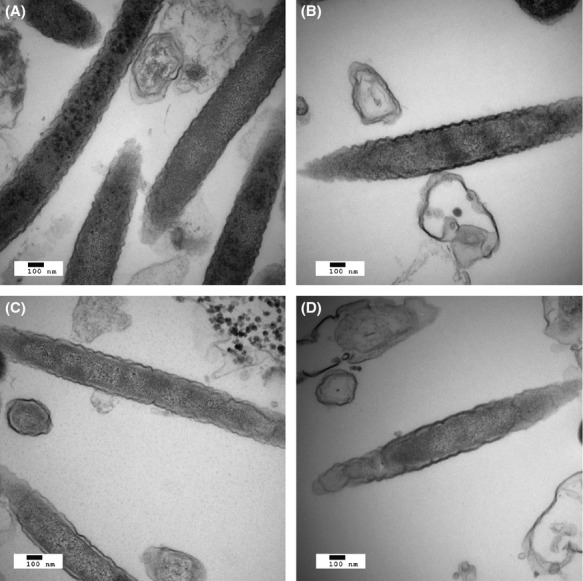 Electron micrographs. Thin-section transmission electron micrographs after 18 h in a model biofilm of (A) Fusobacterium nucleatum alone, (B) F. nucleatum with Porphyromonas gingivalis , (C) F. nucleatum with Streptococcus gordonii , or (D) F. nucleatum with both P. gingivalis and S. gordonii . Magnification: ×49,000.