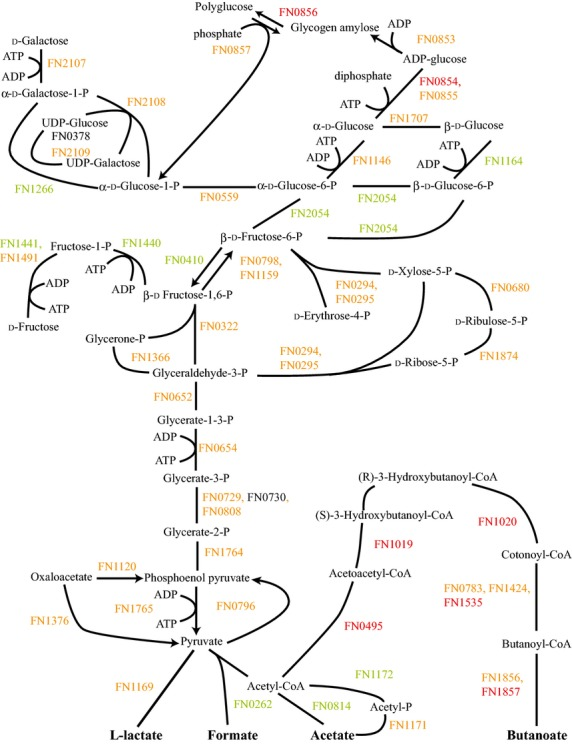 FnPg versus Fn energy metabolism and end products. The diagram shows a schematic of the glycolysis and pentose phosphate pathways for Fn including the end products of the metabolism, formate, acetate, l -lactate, and butanoate, for the Fusobacterium nucleatum with Porphyromonas gingivalis sample compared to F. nucleatum . Labels and color coding as described for Figure 1 .