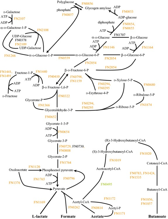 FnSg versus FnPg energy metabolism and end products. Labels and color coding as described for Figure 1 , for the Fusobacterium nucleatum with Streptococcus gordonii comparison to F. nucleatum with Porphyromonas gingivalis .