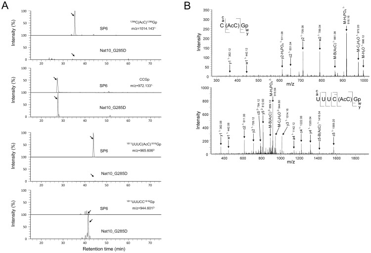 MS-based identification of acetylcytidines in S. pombe 18S rRNA. A. Extracted ion monitoring of RNase T1 fragments of 18S rRNA containing acetylcytidine (AcC) and cytidine (C)-1297 (upper panel) and AcC and C-1815 (lower panel). The 18S rRNAs were purified from strain SP6 or Nat10_G285D grown at 30°C in YE medium, digested by RNase T1 and applied to the LC-MS system (50 fmol each). The sequences and m/z values of AcC and C-containing nucleotides are indicated. A mass window of 3 ppm was used for the extractions. Y axis indicates the peak intensity relative to the most intensive peak in each panel. Note that the MS signals of AcC-containing nucleotides were completely lost in the Nat10_G285D mutant strain (indicated by arrows). B. MS/MS spectra of AcC-containing fragments. The acetylated RNA ions [C(AcC)Gp 1− , m/z 1014.14; UUUC(AcC)Gp 2− , m/z 965.60, in A) were analyzed by collision-induced dissociation. The position of acetylcytidine residues was identified by manual interpretation of the a-, c-, w- and y-type series ions and other specific product ions as indicated in the figure. The series ions assigned are indicated on the RNA sequence in the inset.