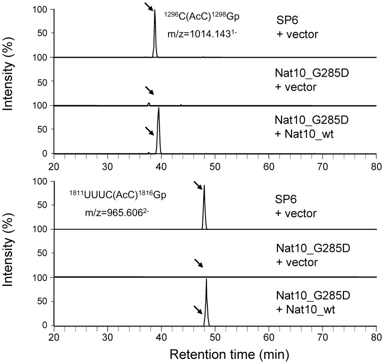 Effect of Nat10 on the acetylation of cytidines 1297 and 1815 in 18S rRNA. Extracted ion monitoring of RNase T1 fragments of 18S rRNA containing AcC-1297 (upper panel) and AcC-1815 (lower panel) is shown. The analysis was performed for 18S rRNAs purified from strain SP6 supplemented with the mock vector, strain Nat10_G285D supplemented with the mock vector, or strain Nat10_G285D supplemented with pREP1-Nat10_wt, respectively, as indicated. Each yeast strain was grown at 30°C in EMMmedium without leucine. The rRNA was digested by RNase T1 and applied to the LC-MS system (50 fmol each). The sequences and m/z values of AcC-containing nucleotides are indicated. A mass window of 3 ppm was used for the extractions. Y axis indicates the peak intensity relative to the most intensive peak in each panel. Note that the MS signals of AcC-containing nucleotides at the positions indicated by arrows appear in the Nat10_G285D mutant strain upon expression of Nat10 cDNA.