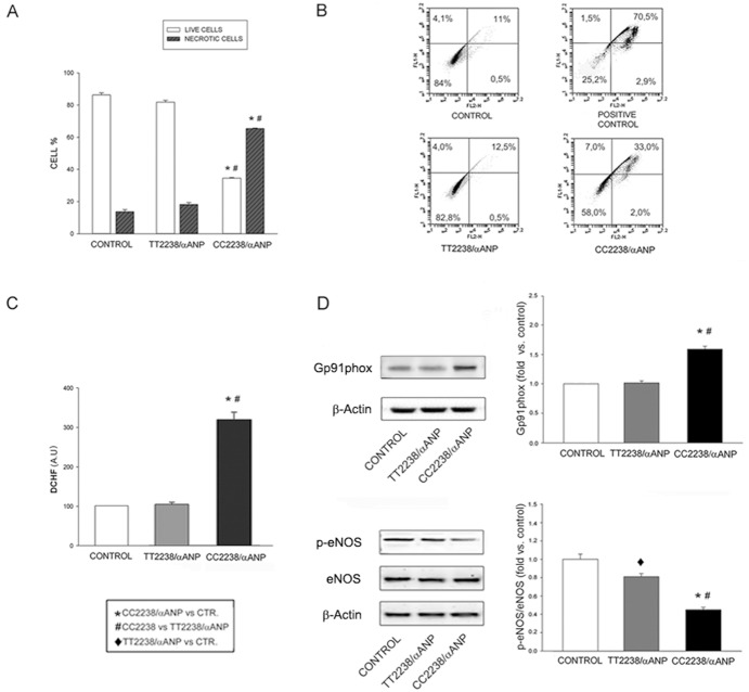 Effects of exposure to either TT2238- or CC2238/αANP on viability and oxidative stress in CASMCs. A. Cell vitality as determined by trypan blue (n = 4); B. Cell vitality as assessed by FACS (n = 4): representative scatter plots are shown with percentages of live cells (bottom left), early apoptotic cells (upper left), late apoptotic cells (upper right), necrotic cells (bottom right); C. ROS levels (n = 6); D. NADPH and eNOS expression levels (n = 3). Representative western blots are shown; bars represent results of densitometric analysis. Control (CTR): untreated cells; positive control: cells treated with H 2 O 2 .♦p