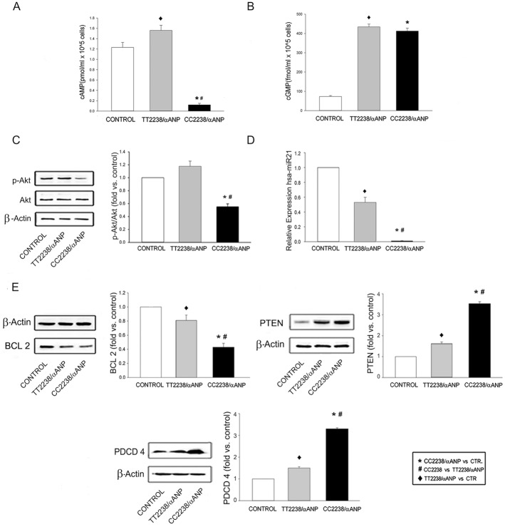 Investigation of the signaling involved in the negative effects of CC2238/αANP in CASMCs. cAMP (A) and cGMP (B) levels (number of experiments = 12) (for all comparisons p