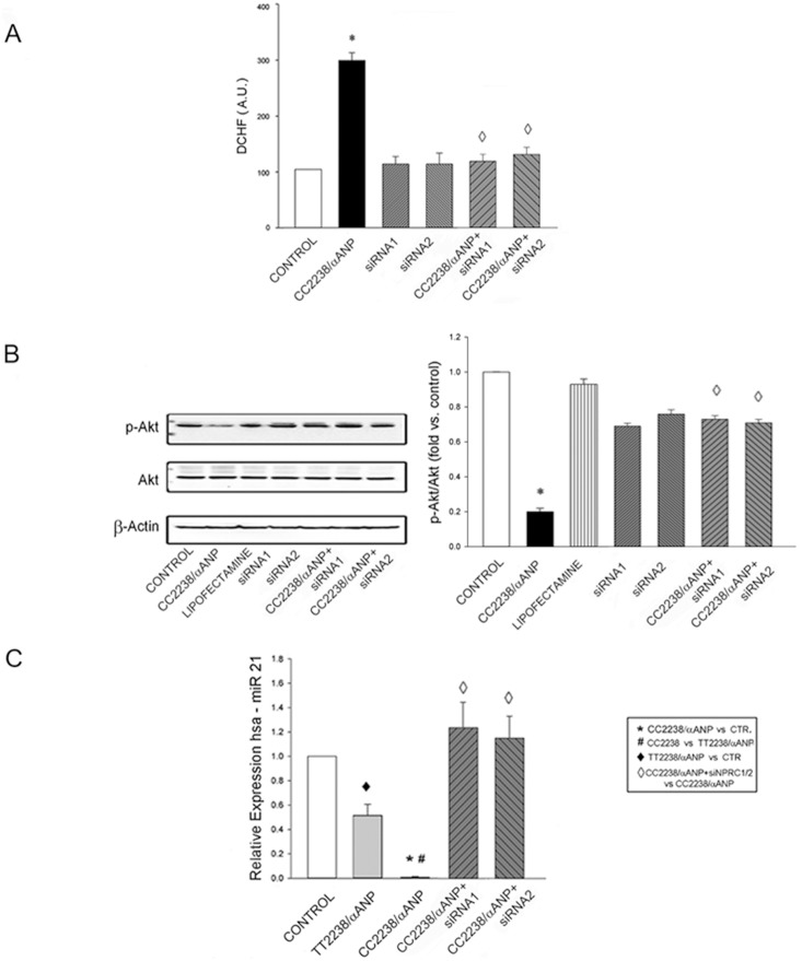 Impact of NPR-C gene silencing on detrimental effects induced by CC2238/αANP in CASMCs. A. ROS levels (n = 6); B. pAkt/Akt levels with representative western blot and results of densitometric analysis (n = 3); C. miR21 expression levels in NPR-C gene silenced cells upon exposure to CC22338/αANP (n = 6). Control (CTR): untreated cells; positive control: cells treated with H 2 O 2 . siRNA1 and siRNA2 = small interfering RNAs for NPR-C gene silencing. For all comparisons p