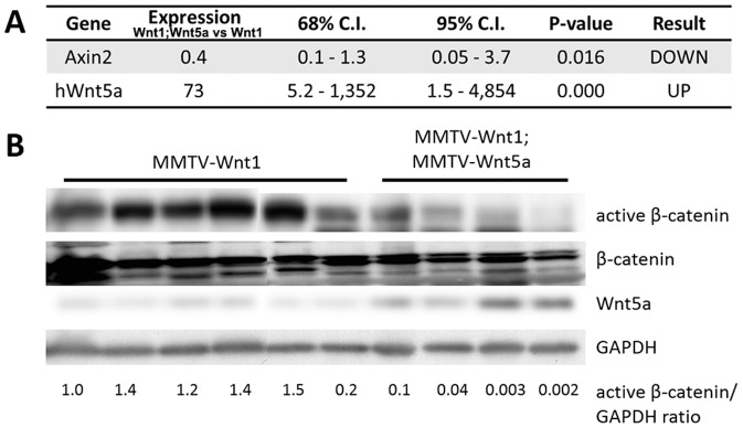 Wnt5a expressing tumors have less Wnt/β-catenin signaling than MMTV-Wnt1 tumors. (A) Quantitative RT-PCR of Wnt/ β -catenin target genes . Expression of Axin2 mRNA in MMTV-Wnt1 versus MMTV-Wnt1;MMTV-Wnt5a tumors as determined by quantitative RT-PCR (n = 5 MMTV-Wnt1, n = 5 MMTV-Wnt1;MMTV-Wnt5a). Data are shown as tables obtained using REST software. Axin2 mRNA was significantly down-regulated in MMTV-Wnt1;MMTV-Wnt5a tumors. (B) Western blot for β-catenin protein . Protein lysates were prepared from MMTV-Wnt1 and MMTV-Wnt1;MMTV-Wnt5a tumors. β-catenin and glyceraldehyde 3-phosphate dehydrogenase <t>(GAPDH)</t> were used as loading controls. The ratio of active β-catenin to β-catenin as determined by densitometic analysis is shown. MMTV-Wnt1;MMTV-Wnt5a tumors displayed decreased levels of active β-catenin compared to controls.