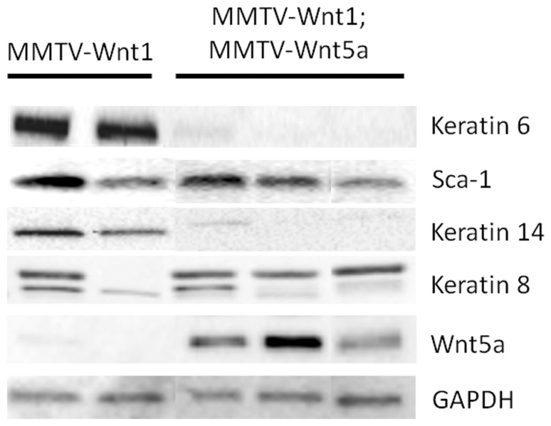Ectopic expression of Wnt5a results in low expression of K6 and K14. Expression of molecular markers for basal and luminal progenitors in MMTV-Wnt1 and MMTV-Wnt1;MMTV-Wnt5a mammary glands was compared by western blot. Glyceraldehyde 3-phosphate dehydrogenase (GAPDH) was used as a loading control. Each lane contains protein isolated from a separate mouse.
