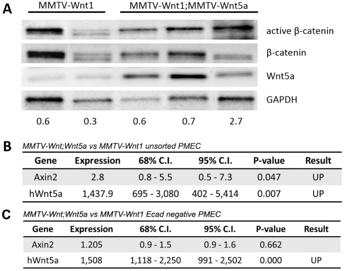 Wnt/β-catenin signaling is not down-regulated in Wnt5a expressing MMTV-Wnt1 glands. (A) Western blot analysis of β-catenin protein in MMTV-Wnt1mammary gland . The level of active β-catenin was compared in protein lysates from MMTV-Wnt1 and MMTV-Wnt1;MMTV-Wnt5a mammary glands. Total β-catenin and glyceraldehyde 3-phosphate dehydrogenase (GAPDH) were used as loading controls. The ratio of active β-catenin-to-β-catenin is shown at the bottom on the gel. Each lane represents a sample from a different mouse. (B) Quantitative RT-PCR of Axin2, a Wnt/β-catenin target gene, in unsorted primary mammary epithelial cells . Expression of Axin2 and hWnt5a m RNA in unsorted PMECs from MMTV-Wnt1;MMTV-Wnt5a vs. MMTV-Wnt1 mammary glands was determined by quantitative RT-PCR (n = 12 MMTV-Wnt1, n = 11 MMTV-Wnt1;MMTV-Wnt5a separate mice). Data are shown as tables obtained using REST analysis software. Expression = fold difference in MMTV-Wnt1;Wnt5a relative to MMTV-Wnt1 controls after normalization to Gapdh. (C) Quantitative RT-PCR of Axin2 in E-cadherin negative primary mammary epithelial cells . Expression of Axin2 and hWnt5a mRNA in E-cadherin (Ecad) negative PMECs from MMTV-Wnt1;MMTV-Wnt5a vs. MMTV-Wnt1 mammary glands was determined by quantitative RT-PCR (n = 2 MMTV-Wnt1, n = 2 MMTV-Wnt1;MMTV-Wnt5a separate mice). Data are shown as tables obtained using REST analysis software. Expression = fold difference in MMTV-Wnt1;Wnt5a relative to MMTV-Wnt1 controls after normalization to Gapdh.