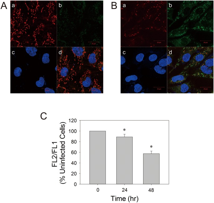 EV71 infection causes decline in ΔΨ m . SF268 cells were mock- (A) or infected with (B) EV71 at an m.o.i. of 1.25 for 48 hr. Cell were stained with JC-1 and Hoechst 33342 dyes, and examined by confocal microscopy. Intracellular distribution of JC-1 J-aggregate (a) and monomer (b) is indicative of ΔΨ m in cells. Nuclei of these cells are shown (c). The corresponding images are overlaid (d). The photographs shown here are representative of three experiments. Scale bar, 20 µm. (C) SF268 cells were mock- or infected with EV71 at an m.o.i. of 1.25 for indicated times, and were subject to JC-1 staining and flow cytometric analysis. The ratio of MRI of FL2 channel to that of FL1 channel (FL2/FL1) was calculated, and is expressed relative to that of uninfected cells. Results are mean ± SD, n = 3. *p