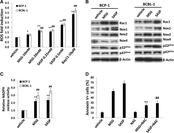 xCT inhibition induces intracellular ROS levels through upregulation of NADPH oxidases activities from KSHV-infected PEL cells. (A) BCP-1 and BCBL-1 were incubated with either MSG or SASP at the indicated concentrations for 24 h, then intracellular reactive oxygen species (ROS) were quantified using the ROS-specific dye CM-H2DCFDA and flow cytometry, and normalized to ROS levels for the vehicle-incubated cells. NF-κB inhibitor Bay11-7082 was used as a positive control. (B-C) BCP-1 and BCBL-1 were treated with either MSG (20 mM), SASP (0.5 mM) or vehicle for 24 h, then proteins expression were measured by immuoblots. NADPH oxidases activities were measured as described in Methods. (D) BCBL-1 were treated with either MSG (20 mM), SASP (0.5 mM) or vehicle in the presence or absence of the antioxidant N -acetylcysteine (NAC) 2.5 mM for 48 h, then cell apoptosis was assessed using Annexin V-PI staining and flow cytometry analysis (** vs MSG group; ## vs SASP group). Error bars represent the S.E.M. for 3 independent experiments. * = p
