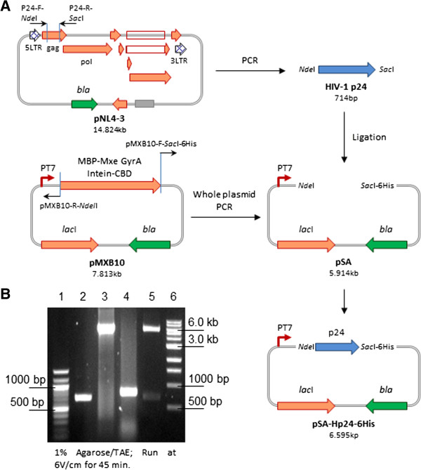 Construction and verification of pSA-Hp24-6His vector. We PCR amplified the p24 gene from pNL4.3 and cloned at Nde I/ Sac I restriction sites in inversely PCRed pMXB10 vector (A) . Agarose gel electrophoresis analysis (B) . Lane 1, 100 bp DNA ladder (NEB#N0467S); Lane 2, PCR amplified 714 bp p24; Lane 3, inversely PCRed 5.91 kb pSA vector; Lane 4, representative colony PCR (806 bp); Lane 5, restriction analysis of pSA-Hp24-6His with Nde I/ Sac I (5.89 kb vector backbone + 702 bp insert) ; Lane 6, 1 kb DNA ladder (NEB #N0468S).