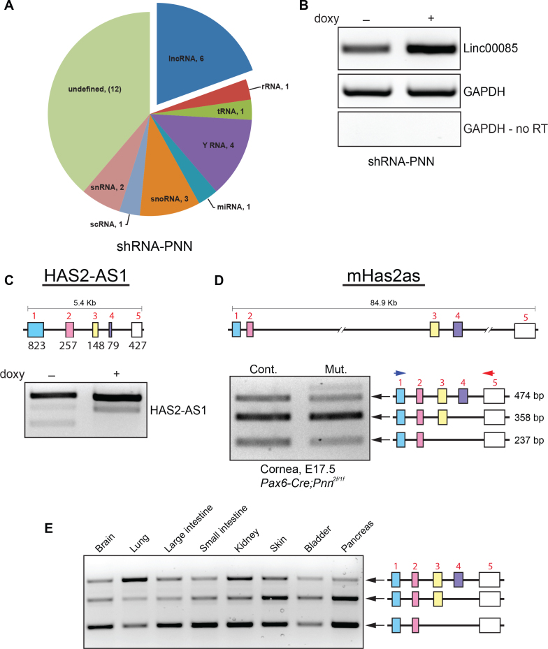 Induced knockdown of Pnn in HCET cells resulted in altered expression of an array of non-coding RNAs, including long-non-coding RNAs. A : Doxycycline-inducible shRNA-mediated PNN knockdown in human corneal epithelial cells led to the altered expression of specific subsets of ncRNAs, including a subset of lncRNAs, along with snRNA -U RNA, snoRNA, small non-coding components of Ro60 ribonucleoprotein particle (y RNA), rRNA, tRNA, miRNA microRNA, and scRNA small cytoplasmic RNA (7S). B : The increased expression level of Linc00085, seen in the transcriptomic array, was independently validated in RNA from PNN-knockdown human corneal epithelial (HCET) cells with real-time–PCR (RT–PCR). C : The change in splicing isoforms of lncRNA, HAS2-AS1, as demonstrated on the Affimetrix transcriptome-arrays, was verified through isoform-specific RT–PCR and sequencing analyses. D : Conditional knockout of Pnn in developing mouse cornea epithelium led to specific changes in the splicing pattern of mHas2as, the mouse ortholog of human HAS2-AS1. The epithelia from the lens-Cre knockouts demonstrated a decrease in the mHAS2AS1 isoform containing exon 1–5 and isoform containing exons 1, 2, and 5 (see Appendix 1). D : Splicing patterns of mHas2as was examined in multiple different mouse tissues. All tissues tested exhibited a differential splicing pattern across the three major splice variants, suggesting significant normal variations on mHAS2-AS1 across differing tissues and cell types, suggestive of tissue-specific splicing regulation.