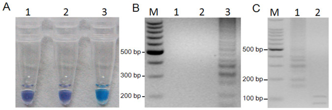 LAMP detection of the F167Y mutation in F. graminearum and digestion of positive LAMP products. (A) LAMP for detection of the F167Y mutation using HNB as a visual indicator. The reaction becomes sky blue if the β 2 -tubulin gene has a point mutation at codon F167Y but remains violet if the β 2 -tubulin gene has no mutation or other mutation at codon F167Y. 1, ddH 2 O; 2, 2021; 3, R9. (B) Agarose gel electrophoresis of LAMP products. The positive reaction is manifested as a ladder-like pattern on the 3.0% agarose gel. M, 100-bp ladder; 1, ddH 2 O; 2, 2021; 3, R9. (C), LAMP products were digested with Pvu I, and two fragments (119 bp, 88 bp) were observed by 3.0% agarose gel. M, 100-bp ladder, 1, LAMP products without digestion; 2, LAMP products digested by Pvu I.