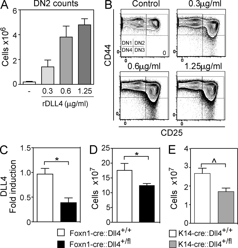 Notch ligand DLL4 regulates thymopoiesis in a dosage-sensitive manner. (A and B) Lymphoid differentiation of sorted LSK after 12 d of culture with IL-7, FLT3-ligand, SCF, and scalar concentrations of rDLL4. (A) Absolute numbers of DN2 cells. (B) DN cell proportions, gated on Lin − CD45 + . A and B represent the mean + SEM of one of two representative experiments performed in triplicate. (C) Dll4 expression in FACS-sorted cTEC from 6-wk-old Foxn1-cre::Dll4 +/fl mice and Foxn1-cre::Dll4 +/+ mice. (D) Total thymic cellularity of 5–6-wk-old Foxn1-cre::Dll4 +/fl mice ( n = 7) and Foxn1-cre::Dll4 +/+ mice ( n = 5). (E) Total thymic cellularity of K14-cre::Dll4 +/fl mice ( n = 7) and K14-cre::Dll4 +/+ mice ( n = 2). Data represents the mean + SEM of one experiment. ^, P = 0.0556. Data represent the mean + SEM of two independent experiments unless otherwise specified. *, P ≤ 0.05, unpaired Mann-Whitney U test.