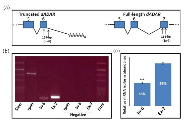 Semi-quantitative RT-PCR for dADAR mRNA isoform relative abundance in D. melanogaster. Orientation diagram (a) shows positions of isoform-specific PCR primers. Gel electrophoresis of PCR products (b) shows relatively high levels of full-length isoform (Ex-7) in comparison to truncated isoform (In-6) in ethidium bromide stained gel. Quantification of band intensities in gels stained with SYBR green I is shown in panel (c). Constitutively expressed rp -49 mRNA was included as a reference against which the other band intensities were compared.