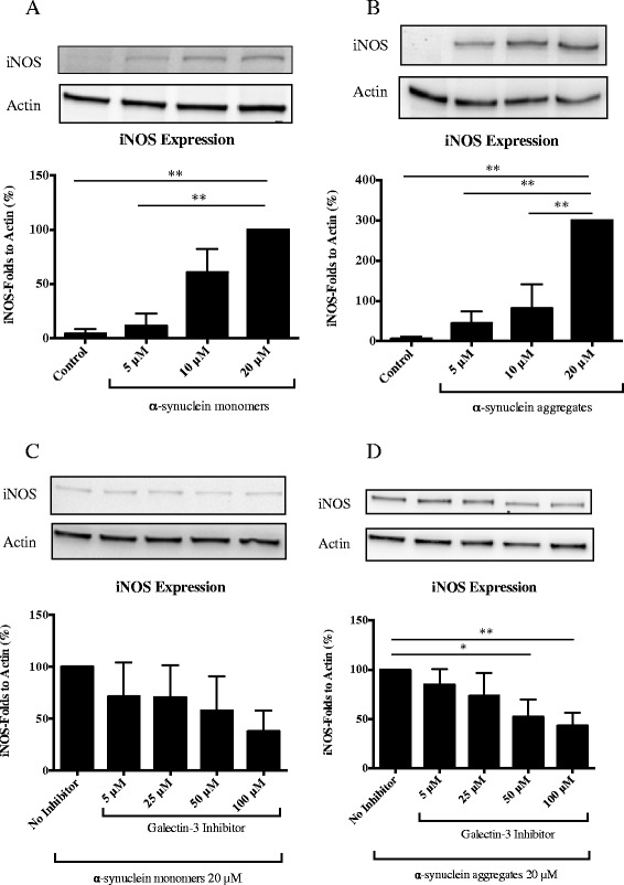 Microglial activation by α-synuclein and inhibition by galectin-3 inhibitor. We measured iNOS expression by western blot in microglial cells after 12 h incubation with α-synuclein monomers (A) and α-synuclein aggregates (B) using different concentrations, 5 μM, 10 μM and 20 μM. iNOS was significantly up regulated with both protein preparations of α-synuclein. α-synuclein aggregates (B) induced a 3-fold higher activation compared to monomers (A) . To determine the role of galectin-3 we used a pre-treatment, incubating the galectin-3 inhibitor for 30 min and then we incubated for 12 h the cells with α-synuclein, monomers or aggregates, using the highest concentration, 20 μM. The lower iNOS expression induced by α-synuclein monomers was not significantly inhibited by pharmacological inhibition of galectin-3 (C) . iNOS expression induced by α-synuclein aggregates (D) was inhibited by more than 50% using 100 μM of the inhibitor. We use the highest iNOS response in each experiment as an internal control to evaluate the response to the other concentrations. Western blot analysis displays iNOS and β-actin protein levels. One-way ANOVA, *P