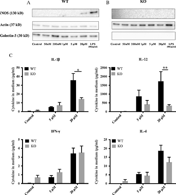 Abrogation of iNOS proteins level and pro-inflammatory cytokines reduction in primary microglial cells from galectin-3 knockout mice after activation with α-synuclein. Primary microglial culture from wild-type mice shows robust iNOS expression following exposure of 20 μM α-synuclein aggregates, or LPS (100 ng/ml), for 12 h (A) . Lower concentrations of α-synuclein aggregates, 5 μM and below, failed to induce iNOS expression in wild- type microglia (A) . Primary microglia from galectin-3 knockout mice completely lack iNOS up regulation following exposure of 20 μM α-synuclein aggregates for 12 h (B) . Cytokine levels in culture medium from primary microglial cells were measured after 12 h incubation with α-synuclein aggregates. Treatment of wild-type microglia with 5 and 20 μM α-synuclein aggregates for 12 h induced increased levels of IL-1β, IL-12, IFN-γ and IL-4 (C) . Treatment of galectin-3 knockout microglia for 12 h reduced levels of IL-1β IL-12 using 20 μM α-synuclein aggregates. Cytokine levels of IFN-γ and IL-4 did not change in galectin-3 knockout compared to wild-type microglia. Two-way ANOVA, *P
