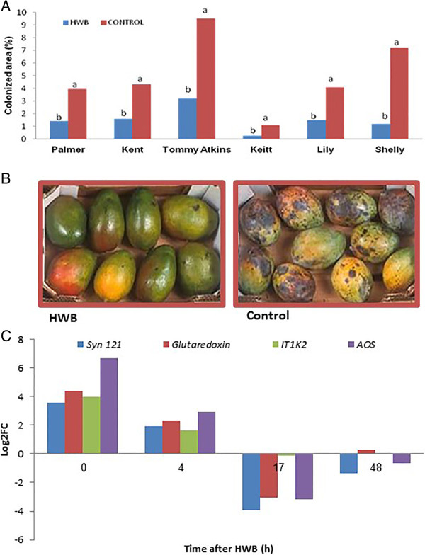 Differential expressions of genes modulating the mechanism of resistance to A. alternata in naturally infected mango fruits. (A) Effect of HWB on alternaria black spot (ABS) symptom development on mango cvs. Palmer, Kent, Tommy Atkins, Keitt, Lily and Shelly. (B) ABS symptom development on naturally infected fruits cv. Keitt following HWB treatment. (C) qRT-PCR differential expression profiling of genes Syn121 , glutardoxin , IT1K2 and AOS of cv. Shelly. Fruit peel tissues were sampled at four different time points after HWB treatment. RNA was extracted and served as a template for cDNA followed by qRT-PCR analysis of the genes of interest. Proportional increases in relative expression values were normalized against the samples of untreated mango fruits at 0 h. Expression data are means of two replicates. ABS-covered area was evaluated after 4 weeks of storage at 12°C. Average values followed by different letters differ significantly at P