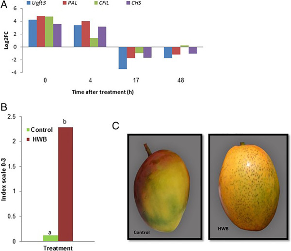 Effects of HWB treatment on the expression of flavonoid biosynthesis-related genes and the occurrence of red lenticel discoloration on mango fruit cv. Shelly. (A) <t>qRT-PCR</t> profile of differentially expressed genes Ugft3, PAL, CFIL and CHSï , which are related to the flavonoid biosynthesis process, naringenin-chalcone synthase activity, and the phenylpropanoid biosynthesis pathway. (B) level of lenticel discoloration of HWB-treated and control fruits, and (C) lenticel discoloration symptoms on mango fruits, cv. Shelly following HWB treatment. qRT-PCR values were normalized to the values obtained in samples from untreated mango fruits at 0 h. Expression data are means of two replicates. Lenticel discoloration was evaluated following 2 weeks of storage at 12°C [ 9 ]. Average values followed by different letters differ significantly at P