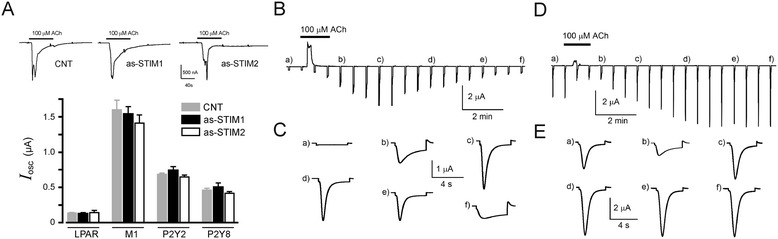 I osc and T in responses activated by agonist stimulation. A) Strength of I osc elicited by first agonist application did not change by knockdown of STIM1 or STIM2, compared with that obtained in CNT oocytes; top traces are typical responses elicited by ACh, similar responses were obtained by FBS or ATP applications, and the graph shows the average I osc responses obtained in oocytes held at −60 mV. B) Record illustrating the activation of T in current obtained in an oocyte expressing the M1 receptor by a single ACh (100 μM) application for 40 s (acute protocol). Oocytes were held at −10 mV while being superfused with NR solution and stepped to −100 mV for 4 s every 40 s; sudden hyperpolarization generated T in current responses that follow consistent kinetics with a peak amplitude response at 280–360 s (c); after that the response was washed out with a similar time course. C) Shows the T in current during the steps from −10 to −100 mV indicated with letters in panel B) . D) A similar T in current response elicited in an oocyte from the same frog that was pre-incubated with 1 μM ACh for 4 h (long-lasting protocol), then monitored with the same electrical recording parameters and stimulated with 100 μM ACh. E) Shows the T in responses indicated with the same letters as in D) . In this protocol T in current was consistently activated from the beginning of the record, and a transient inhibition of the response was noted during application of the agonist ( b) ; after that, T in recovered and remained fully activated for a long period of time. Similar responses were obtained using oocytes expressing P2Y receptors and stimulating with ATP.