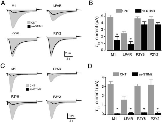 Specific STIM knockdown by oocyte injection of as-STIM differentially decreased the T in current. A) Oocytes induced to express M1, P2Y8, or P2Y2 receptors were stimulated with either ACh or ATP (100 μM), and LPAR in native oocytes were stimulated by FBS (1:1000 dilution); the resulting T in currents (CNT, gray areas) were compared with the T in obtained in oocytes from the corresponding group that were also injected with 50 ng as-STIM1 (superimposed black traces); all responses were monitored 48–72 h after oocyte injection. B) The graph shows the results obtained using the different experimental conditions illustrated in A) . C) In a set of experiments similar to those shown in A) , T in currents were monitored, and the peak amplitudes of non-injected CNT oocytes were compared with those of oocytes injected (48–72 h before recording) with 50 ng as-STIM2 and stimulated with the agonists. D) The graph shows the results obtained using the different experimental conditions illustrated in C) . Bars correspond to the mean (± SEM) of the T in peak amplitude of 10–15 oocytes from 5–6 frogs (*p