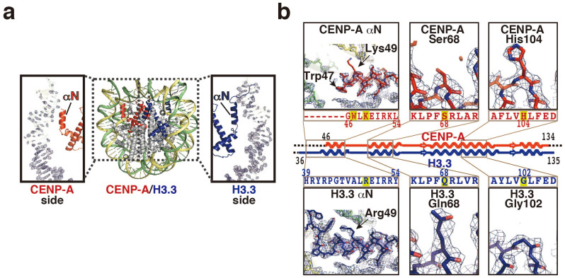 Crystal structure of the human <t>CENP-A/H3.3</t> nucleosome. (a) The CENP-A/H3.3 nucleosome structure is presented. CENP-A and H3.3 molecules are colored red and blue, respectively. The 2mFo - DFc maps of the two <t>DNA</t> end regions of the CENP-A/H3.3 were calculated and contoured at the 2.0σ level. (b) Close-up views of the CENP-A αN helix, the H3.3 αN helix, the CENP-A Ser68 residue, the H3.3 Gln68 residue, the CENP-A His104 residue, and the H3.3 Gly102 residue. Electron density maps are presented at the 1.5σ level.