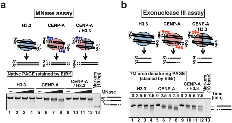The DNA end close to CENP-A is asymmetrically flexible in the CENP-A/H3.3 nucleosome. (a) MNase assay. The H3.3, CENP-A, and CENP-A/H3.3 nucleosomes were treated with MNase (0, 0.3, 0.5 and 0.7 units), and the resulting DNA fragments were analyzed by native PAGE. The gel image shown is a representative of four independent experiments, in which similar results were obtained. (b) ExoIII assay. The H3.3, CENP-A, or CENP-A/H3.3 nucleosomes were incubated with or without 2.0 units of ExoIII for 2.5, 5 and 7.5 minutes at 37°C, and the resultant DNA fragments were extracted and analyzed by 14% denaturing PAGE with 7 M urea. The gel image shown is a representative of three independent experiments, in which similar results were obtained.