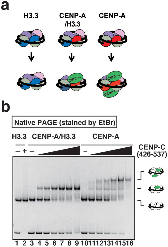 CENP-C binding to the CENP-A/H3.3 nucleosome. (a) Schematic representations of CENP-C binding to the H3.3 nucleosome, the CENP-A nucleosome, and the CENP-A/H3.3 nucleosome. (b) The binding of CENP-C to the CENP-A/H3.3 nucleosome. CENP-C(426–537) peptide binding to the H3.3 nucleosome (0.2 μM), the CENP-A nucleosome (0.2 μM), and the CENP-A/H3.3 nucleosome (0.2 μM) was evaluated by a gel mobility shift assay. The CENP-C(426–537) peptide concentrations are 0 μM (lanes 1, 3, and 10), 0.2 μM (lanes 4 and 11), 0.4 μM (lanes 5 and 12), 0.6 μM (lanes 6 and 13), 0.8 μM (lanes 2, 7, and 14), 1.0 μM (lanes 8 and 15), and 1.2 μM (lanes 9 and 16). The gel image is a representative of three independent experiments with similar results.