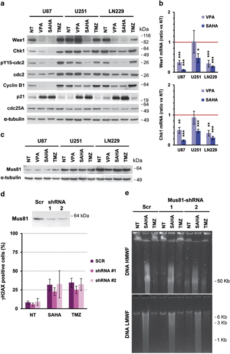 SAHA and VPA reduce the levels of expression of G2 checkpoint gatekeepers Wee1 and Chk1. ( a ) Analysis of the effect of HDACi on Wee1 and Chk1 protein expression and on the phosphorylation status of cdc2 (Tyr-15) in glioma cells. Cell cycle regulators, Cyclin B1, p21 and cdc25A, were also analyzed. Cells were treated for 24 h with 10 mM VPA, 10 μ M SAHA or 100 μ M TMZ, and protein extracts were analyzed by electrophoresis and western blot using specific antibodies against proteins indicated on the left of the panels. Representative blots of three independent experiments are shown. ( b ) Analysis of Wee1 and Chk1 mRNA after 24 h of HDACi treatment of glioma cell lines by reverse transcription and quantitative real-time PCR. Bars depict the mean±S.E.M. of four independent experiments. ( c ) Expression of Mus81 endonuclease in glioma cells treated as described above by western blot. Equal loading was verified by α -tubulin detection on the same membrane. ( d ) Downregulation of the endonuclease Mus81 do not prevent DSBs formation in SAHA-treated U251-MG cells. The efficacy of two specific shRNA against the mRNA of Mus81 (1 and 2) was verified by western blot (upper panel). Percentage of γH2AX-positive cells after 48 h of incubation in the presence of 10 μ M SAHA or 100 μ M TMZ of lentivirus-transduced cells. Data are mean±S.E.M. from three independent experiments. ( e ) Analysis of DNA fragmentation after Mus81 downregulation with shRNA. Representative gels of three independent experiments are shown, of high-molecular weight DNA fragmentation (upper panel) and low-molecular weight DNA fragmentation (lower panel) analysis