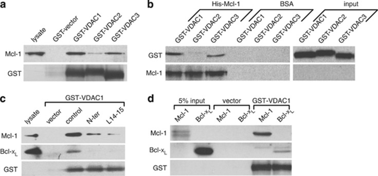 Mcl-1 binds strongly to VDAC1 and 3 and binds to VDAC1 with greater apparent affinity than Bcl-x L . ( a ) Human Mcl-1 expressed in MEF cells and detected by western blot after pulldown by GST-fusion proteins of VDAC1, 2 or 3 is shown in the upper lanes with loading control blots of GST depicted below. ( b ) GST-fusion proteins of VDAC1, 2 or 3 detected by anti-GST antibody after pulldown by purified His-tagged Mcl-1 is shown in the upper lanes with the loading control blots of Mcl-1 depicted below. Lanes labeled BSA are negative controls showing GST-VDACs are not pulled down by beads alone. ( c ) Western blot detection of Mcl-1 and Bcl-x L pulled down by GST-VDAC1 from MEF cell lysates pretreated with control or VDAC-based peptides (N-ter and L14-15). ( d ) Western blot of recombinant purified Mcl-1 and Bcl-x L (0.2 μ g) pulled down by GST-VDAC1. All blots are representative of at least two independent experiments