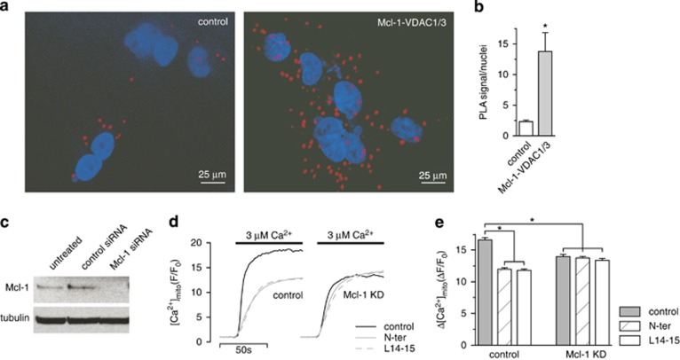 Mcl-1 and VDAC1/3 interact in vivo to increase [Ca 2+ ] mito uptake. ( a ) An in situ proximity ligation assay (PLA) showing the interaction between MCL-1 and VDAC1 and 3 (red) in A549 cells counterstained with DAPI (blue). ( b ) Quantification (mean±S.E.) of the PLA signal normalized to cell number (* P