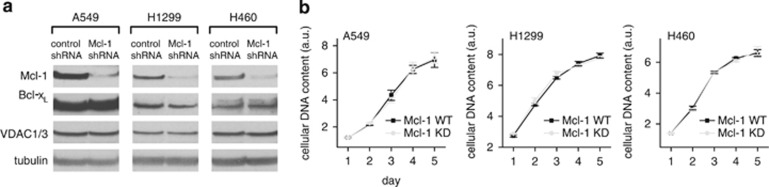 Mcl-1 does not affect cell proliferation in lung cancer cells. ( a ) Western blot showing efficient knockdown of Mcl-1 by shRNA-transfected stable cell lines from A549, H1299 and H460 cells. Bcl-x L and VDAC levels are unaffected. ( b ) Summary of proliferation in control Mcl-1 WT and Mcl-1 knockdown lung cancer cells (mean±S.E.; P > 0.05; student's t -test)