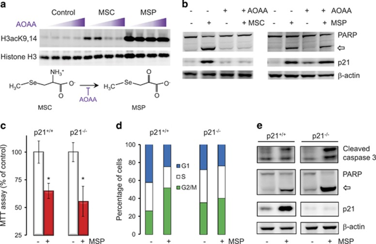 Induction of p21 by MSP is not a prerequisite for apoptosis in colon cancer cells. ( a ) HCT116 cells were incubated with the transaminase inhibitor aminooxyacetic acid (AOAA) 1 h before treatment with MSP, MSC, or vehicle (control). Whole-cell lysates were immunoblotted 6 h later for histone H3 acetylation. Wedge symbol indicates increasing concentration of AOAA. ( b ) AOAA pretreatment for 1 h blocked p21 induction by MSC and the cleavage of PARP, whereas MSP was unaffected by AOAA. Open arrow, cleaved PARP. ( c ) HCT116 p21+/+ and HCT116 p21−/− cells responded similarly to MSP treatment in MTT assays; mean±S.D., n =3, * P