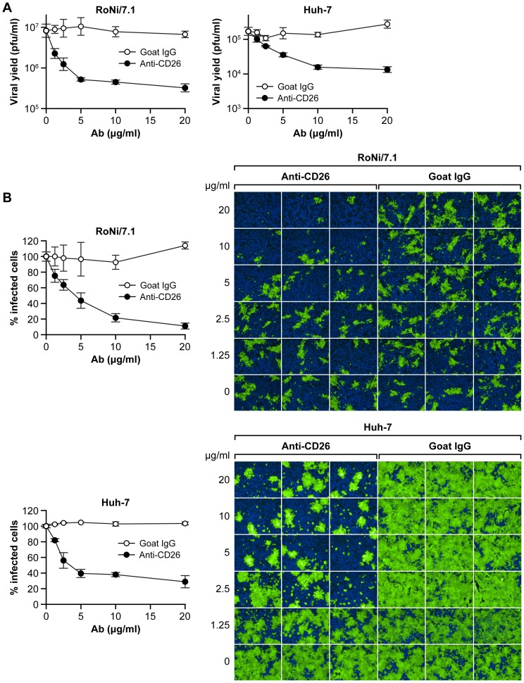Anti-human CD26/DPP4 antibody inhibits MERS-CoV infection of bat cells. RoNi/7.1 or Huh-7 cells (control) were treated with increasing concentrations (0, 1.25, 2.5, 5, 10, and 20 µg/ml) of anti-human CD26/DPP4 antibody or control antibody and then exposed to MERS-CoV/EMC at an MOI of 1. (A) After 24 h, viral yields in supernatants were determined by plaque assay. (B) Cellular infection was determined by immunofluorescence assay (IFA) with an anti-MERS-CoV spike protein antibody (green). (B left) The percentage of infected cells was analyzed by high content imaging. (B right) Representative IFA images. Error bars indicate the standard deviation of triplicate samples.