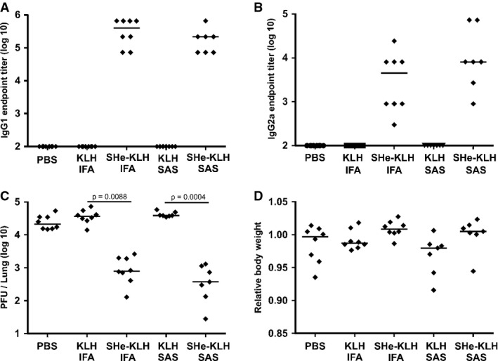 The reduction of HRSV in SHe-KLH-immunized mice is not short living Two groups of 8 BALB/c mice were immunized three times intraperitoneally with KLH or SHe-KLH combined with incomplete Freund's adjuvant (KLH IFA and SHe-KLH IFA). In parallel, two groups of 7 mice were immunized two times intraperitoneally with KLH or SHe-KLH in combination with Sigma Adjuvant System (KLH SAS and SHe-KLH SAS). As a third immunization, the latter two groups received PBS without adjuvant. As negative control, one group of 8 mice was vaccinated with PBS without adjuvant (PBS). All immunizations were performed every 2 weeks. Serum was collected 20 days after each immunization. Six weeks after the last immunization with incomplete Freund's adjuvant and 8 weeks after the last immunization with Sigma Adjuvant System, the mice were challenged with 1 × 10 6 PFU HRSV A2. Six days after challenge, the lungs were collected to determine the pulmonary HRSV titer by plaque assay. SHe-KLH immunization induces SHe-specific serum IgG1 antibodies. The graph shows the SHe-specific IgG1 serum endpoint titers of each mouse at 3 weeks before viral challenge as determined by SHe peptide ELISA. Horizontal bars indicate the mean IgG1 titers. SHe-KLH immunization induces SHe-specific serum IgG2a antibodies. The graph shows the SHe-specific IgG2a serum endpoint titers of each mouse at 3 weeks before viral challenge as determined by SHe peptide ELISA. Horizontal bars indicate the mean IgG2a titers. Vaccination with SHe-KLH reduces HRSV A2 replication in the lungs of challenged BALB/c mice. The graph shows the number of PFU per lung for each mouse, sampled 6 days after challenge with 1 × 10 6 PFU of HRSV A2. Horizontal bars represent the median (one-way ANOVA Dunn's multiple comparisons test). Vaccination with SHe-KLH is not associated with enhanced body weight loss upon HRSV infection. The graph shows the relative body weight at day 6 post-infection calculated as the ratio between body weight at day 6 and body 