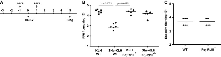 Reduction of HRSV replication by SHe immune serum depends on Fcγ receptors I and/or III Schematic overview of the protocol used to investigate the role of Fcγ receptors in SHe-antibody-mediated reduction of HRSV replication. One day before and one day after HRSV A2 infection, wild-type (WT, 6 mice per group) or Fcγ receptor I and III double knockout (FcγR I/III −/− , 5 mice per group) BALB/c mice were treated intranasally with 35 μl of PBS (PBS), KLH (KLH) or SHe-KLH immune serum (SHe-KLH). Five days after challenge with 5 × 10 5 PFU of HRSV A2, the lungs were collected and HRSV A2 titers were determined by plaque assay. Transfer of SHe-KLH immune serum reduces HRSV replication in wild-type, but not in FcγR I/III −/− mice. The graph shows the number of PFU per lung of each mouse, and horizontal bars represent the means (one-way ANOVA Dunn's multiple comparisons test). SHe-specific IgG levels in lung homogenates of wild-type and FcγR I/III −/− mice are comparable. The graph shows the SHe-specific endpoint IgG titer in lung homogenates prepared 5 days after infection of each mouse treated with SHe-KLH immune serum, with horizontal bars representing the mean. The graphs are representative for two independent experiments.