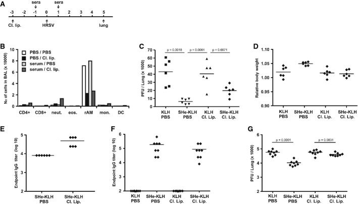 Suppression of HRSV replication by SHe immune serum depends on alveolar macrophages A Schematic overview of the protocol used to investigate the role of alveolar macrophages in SHe-antibody-mediated protection against HRSV. Three days before infection, anesthetized BALB/c mice were treated intranasally with PBS (PBS) or clodronate-loaded liposomes (Cl. Lip.). One day before and one day after HRSV A2 infection, the mice received KLH (KLH) or SHe-KLH immune serum (SHe-KLH) via the intranasal route. On day 5 after challenge with 5 × 10 5 PFU of HRSV A2, mice were sacrificed and the pulmonary viral load was determined by plaque assay. B Treatment with clodronate-loaded liposomes selectively reduces the number of alveolar macrophages in the lungs. Mice were treated with PBS or clodronate-loaded liposomes 3 days before BAL fluid collection. Two days later, these mice were additionally treated with PBS or KLH immune serum. The number and type of cells in the BAL fluid was determined by flow cytometry. The graph represents the number of CD8 + T cells (CD8+), CD4 + T cells (CD4+), neutrophils (neut.), eosinophils (eos.), resident alveolar macrophages (rAM), infiltrating monocytes (Mon.), and dendritic cells (DC) in BAL fluid. PBS/PBS: passive transfer of PBS and treatment with PBS; PBS/Cl. lip.: passive transfer of PBS and treatment with clodronate-loaded liposomes; serum/PBS: passive transfer of KLH immune serum and treatment with PBS; Serum/Cl. lip.: passive transfer of KLH immune serum and treatment with clodronate-loaded liposomes. C Treatment of mice with clodronate-loaded liposomes impairs SHe-immune serum-mediated suppression of HRSV replication. The graph shows the number of PFU per lung of each mouse on day 5 after challenge. Horizontal bars represent the means (one-way ANOVA Dunn's multiple comparisons test). The graph is representative for two independent experiments. D Depletion of alveolar macrophages does not affect body weight upon HRSV infection. The graph sh