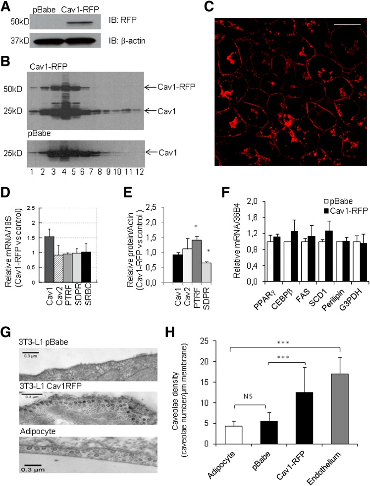 Caveolin-1 overexpression in 3T3-L1 increases adipocyte caveolae density.  A : Cav1-RFP transgene expression in cells transduced with retroviral constructs containing empty vector (pBabe) or a caveolin-1 cDNA fused to RFP. Membranes were immunoblotted (IB) with an anti-RFP antibody or β-actin.  B : Endogenous caveolin-1 and exogenous Cav1-RFP distribution into detergent-resistant membrane fractions. Cells stably expressing an empty pBabe vector or Cav1-RFP were lysed in the presence of cold Triton X-100. Detergent-resistant (fraction 1–5) or detergent-soluble (fraction 7–12) fractions were obtained after gradient centrifugation.  C : Fluorescent imaging of Cav1-RFP cell lines by confocal microscopy. Bar scale is 20 μm.  D  and  F : Relative mRNA expression in Cav1-RFP versus control cell lines. Indicated mRNA levels were measured by RT-QPCR and normalized to 18S or 36B4 mRNA. Values are means ± SEM obtained in three independent pools of antibiotic-selected clones.  E : Relative protein expression in Cav1-RFP versus control cell lines. Indicated proteins were assessed by Western blotting and normalized to β-actin. According to cavin nomenclature, PTRF is cavin-1, SRBC is cavin-2, and SDPR is cavin-3.  G : Electron microscopy images of 3T3-L1 adipocytes transduced with an empty vector ( upper panel ) stably expressing Cav1-RFP ( middle panel ) or adipocytes of subcutaneous adipose tissue of mice ( lower panel ). Bar scale: 300 nm.  H : Quantification of caveolae density from electron microscopy images. A total of 40-μm membrane stretches were used for caveolae quantification in each group using ImageJ software. Caveolae density is expressed as the number of invaginated caveolae per micrometer membrane length, and values are means ± SEM of 6–10 image sections. Significant differences between groups by Student  t  test are indicated as follows: *** P