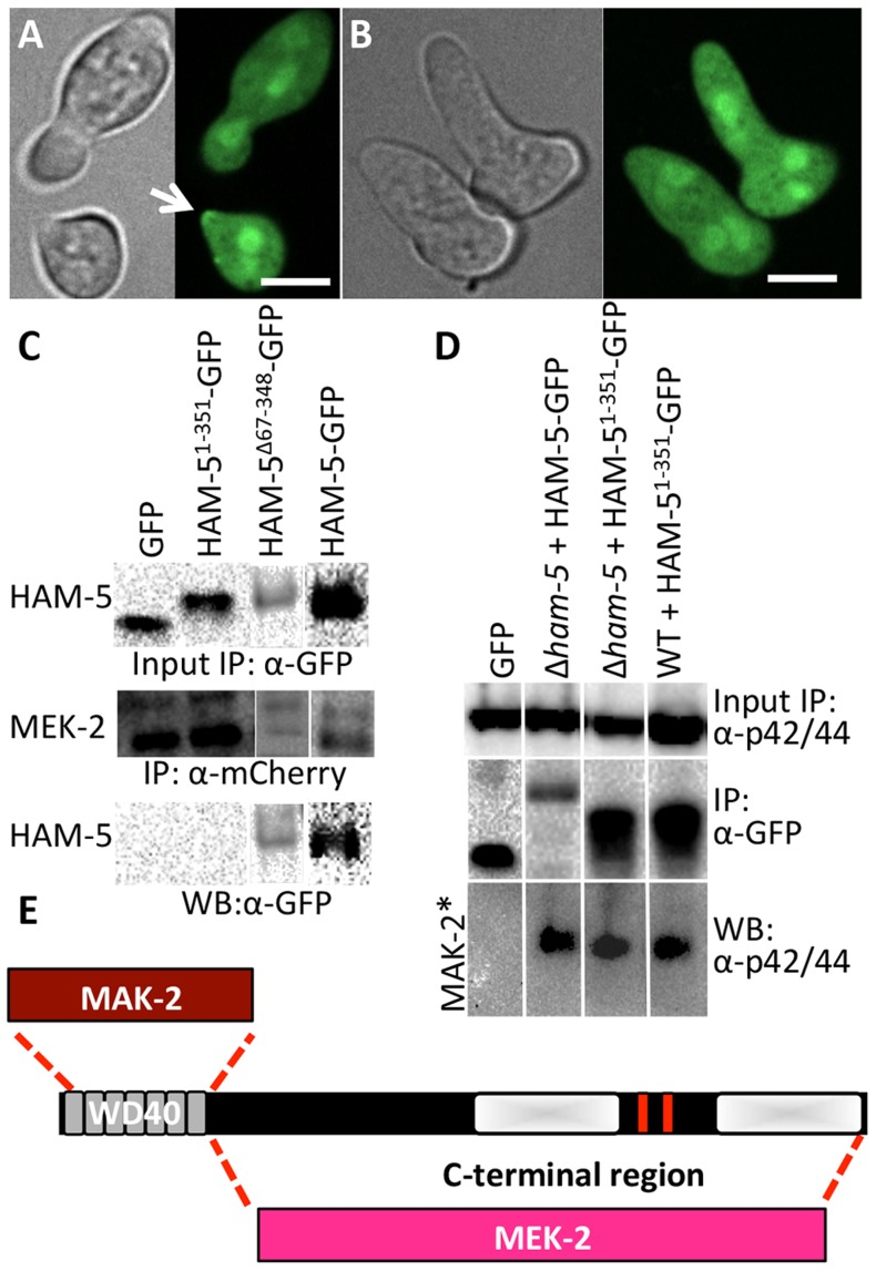 The WD40 domain of HAM-5 interacts with MAK-2, while the C-terminus interacts with MEK-2. (A) Localization of HAM-5 1-351 -GFP (WD40 domain only) in WT germlings localized to the cytoplasm, the nucleus and the puncta at the cell periphery and at the tip during chemotropic interactions and oscillation (arrow). (B) HAM-5 1-351 -GFP in Δ ham-5 germlings localized to the cytoplasm and the nucleus; no puncta were observed. The images on the left are bright field images. Scale bar = 10 µM. (C) Western blots showing a specific interaction between MEK-2-mCherry (82.9 kD) with full length HAM-5-GFP (210 kD) or HAM-5 Δ67-348 -GFP (180 kD), but not with free GFP (27 kD; Figure S4C , D). An interaction between MEK-2-mCherry and HAM-5 1-351 -GFP (65.3 kD) was not detected. Input panels show Western blot of immunoprecipitated proteins isolated from 5 hr-old germlings probed with either anti-mCherry antibodies or anti-GFP antibodies. Output panel shows anti-mCherry immunoprecipitated proteins (MEK-2-mCherry) probed with anti-GFP antibodies (HAM-5-GFP). (D) Western blots showing a specific interaction between full length HAM-5-GFP or HAM-5 1-351 -GFP and phosphorylated MAK-2. Input panels show Western blot of proteins isolated from 5 hr-old germlings probed with anti-p42/44 antibodies (which recognize phosphorylated MAK-2 (40.8 kD; Figure S4D , E) [8] ) or immunoprecipitated proteins probed with anti-GFP antibodies. The output panel shows anti-GFP immunoprecipitated protein sample probed with anti-p42/44 antibodies, showing interaction between HAM-5-GFP or HAM-5 1-351 -GFP and phosphorylated MAK-2. (E) Schematic showing regions of interaction between HAM-5 and MAK-2 or MEK-2 based on co-immunoprecipitation experiments.