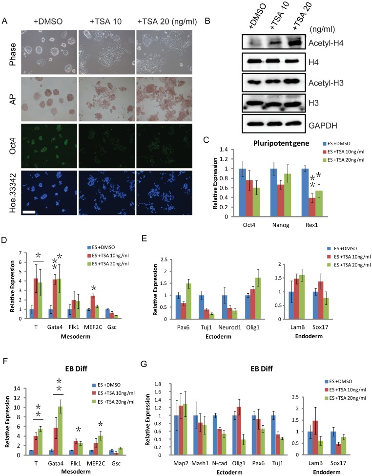 TSA induces early differentiation of ESCs and promotes mesodermal lineage differentiation. ( A ) Bright-field images, alkaline phosphatase staining of ESCs and representative immunofluorescence images of Oct4 staining in control or TSA-treated ESCs (10 and 20 ng/ml) in the presence of LIF. ( B ) Western blotting verification of H3, acetyl-H3, H4, and acetyl-H4 in control or TSA-treated ESCs (10 and 20 ng/ml). GAPDH was used as a loading control. ( C ) The relative expression levels of Oct4, Nanog, and Rex1 mRNA in control or TSA-treated ESCs (10 and 20 ng/ml). ( D, E ) QRT-PCR analysis for marker genes of three germ layers (endoderm, mesoderm and ectoderm) in control or TSA-treated ESCs (10 and 20 ng/ml), under the monolayer differentiation condition without LIF. The cells were treated by TSA after removing LIF for 24h and collected mRNA for QRT-PCR analysis at day 3 of monolayer differentiation. ( F, G ) QRT-PCR analysis for marker genes of the three germ layers in control or TSA-treated ESCs (10 and 20 ng/ml) during EB differentiation. The EBs was treated by TSA from day 2 to 6 of EB differentiation. Data are expressed as means ± SD. Statistical significance was assessed by two-tailed Student's t test. ***, P
