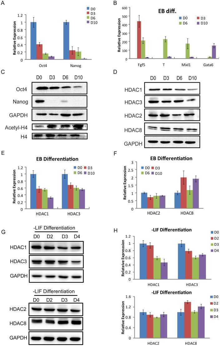 The expression levels of HDAC1 and 3 are decreased during differentiation. ( A ) QRT-PCR for genes characteristic of undifferentiated stem cells (Oct4, Nanog) was performed as indicated on mRNA collected at days 0, 3, 6, and 10 during EB differentiation. ( B ) The relative expression levels of marker genes for three germ layers (endoderm, Gata6; mesoderm, T, Mixl1; primitive ectoderm, Fgf5) at days 0, 3, 6, and 10 during EB differentiation. ( C ) Western blotting verification for genes characteristic of undifferentiated stem cells (Oct4, Nanog) was performed as indicated on protein samples collected at days 0, 3, 6, and 10 during EB differentiation. The expression level of global acetyl-H4 was increasing during EB differentiation. GAPDH and H4 were used as loading controls. ( D ) Western blotting verification for class I HDAC members (HDAC1, 2, 3, and 8) at the indicated days 0, 3, 6, and 10 during EB differentiation. GAPDH was used as a loading control. ( E, F ) QRT-PCR analysis for the expression levels of class I HDAC members (HDAC1, 2, 3, and 8) at the indicated days 0, 3, 6, and 10 during EB differentiation. ( G, H ) Western blotting and QRT-PCR analysis for the expression levels of HDAC members (HDAC1, 2, 3, and 8) at days 0, 2, 3, and 4 during differentiation without LIF.