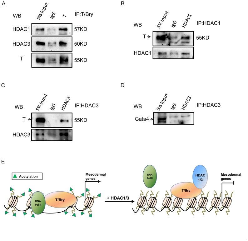 HDAC can repress the transcriptional activity of T/Bry via physical interaction. ( A ) HDAC1 and HDAC3 interact with the T-box transcription factor T/Bry. Co-immunoprecipitation (Co-IP) was performed using control IgG or T/Bry antibody, followed by western blot analysis for HDAC1 and HDAC3. 5% Input (v/v) indicated that the ratio between the loading sample and precipitation is one to twenty. ( B ) Co-IP was performed using control IgG or HDAC1 antibody, followed by western blot analysis for T/Bry. ( C ) Co-IP was performed using control IgG or HDAC3 antibody, followed by western blot analysis for T/Bry. ( D ) HDAC3 does not interact with Gata4. Co-IP was performed using control IgG or HDAC3 antibody, followed by western blot analysis for Gata4. ( E ) A summary model shows the mechanism of HDACs in regulating the expression of mesodermal genes.