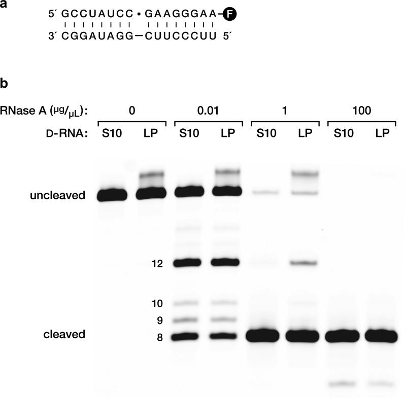 Analysis of the regiospecificity of ligation. a, D-RNA substrates and template for ligation, catalyzed by the L-16.12tx enzyme. Dot indicates the ligation junction, which is also the site for RNase A cleavage that is closest to the 3′ end of the ligated product. The downstream substrate is labeled at the 3′ end with fluorescein (circled F). b, RNase A digestion of the ligated products (LP) in comparison to authentic all-3′,5′-linked RNA of the same sequence (S10). Reaction conditions: 0–100 μg/μL RNase A, 2 μM RNA, 50 mM Tris (pH 7.6), 23 °C, 1 min.