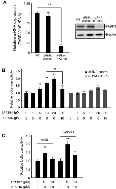 (A) The effect of small interfering <t>RNA</t> on heart-type fatty-acid-binding protein (FABP3) mRNA expression in human coronary artery endothelial cells (HCAECs). The efficiency of FABP3 knockdown was calculated to be 75% by real-time quantitative <t>RT-PCR.</t> Data are presented as the mean ± SEM ( n = 3). Protein levels were analyzed by SDS–PAGE and visualized with the enhanced chemiluminescence reagent. Each lane was loaded with 20 μg of whole-cell lysate. β-Actin was used as the loading control. (B) Effect of lysophosphatidic acid (LPA) on reporter activation in FABP3-knocked-down HCAECs. FABP3-knocked-down cells were transiently transfected with a pGL3-PPRE-acyl-CoA oxidase luciferase reporter vector. The cells were treated with 1–30 μM LPA for 20 h. Luciferase activity was normalized to Renilla luciferase activity. The synthetic peroxisome proliferator-activated receptor gamma antagonist T0070907 (10 μM) was used as the positive control. Data are expressed as the mean ± SEM ( n = 4), ∗∗ P
