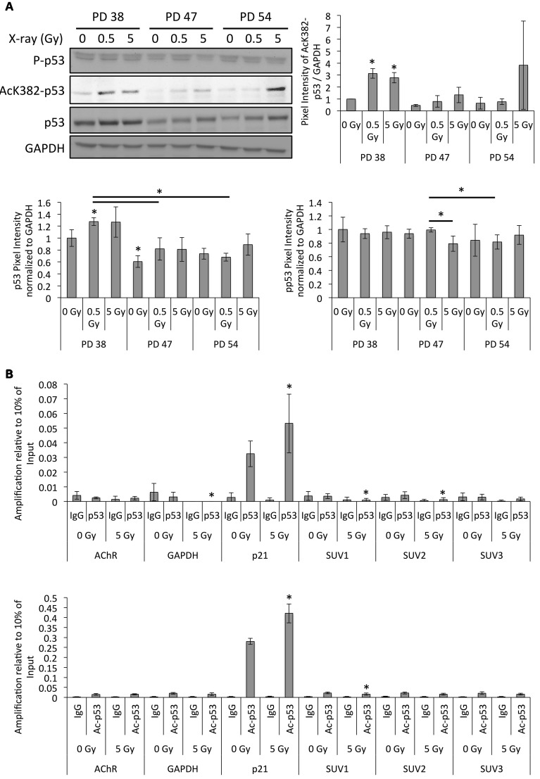 Altered p53 activation and binding to the SUV39H1 promoter after irradiation. (A) Representative Western blots images and quantification of band intensities of the protein levels normalized to PD 38 0 Gy. Averages from three biological replicates ± SD . (B) ChIP-qRT-PCR target amplification normalized to 10% of the amplification from input DNA fragments. Averages from three biological replicates ± SD . * p
