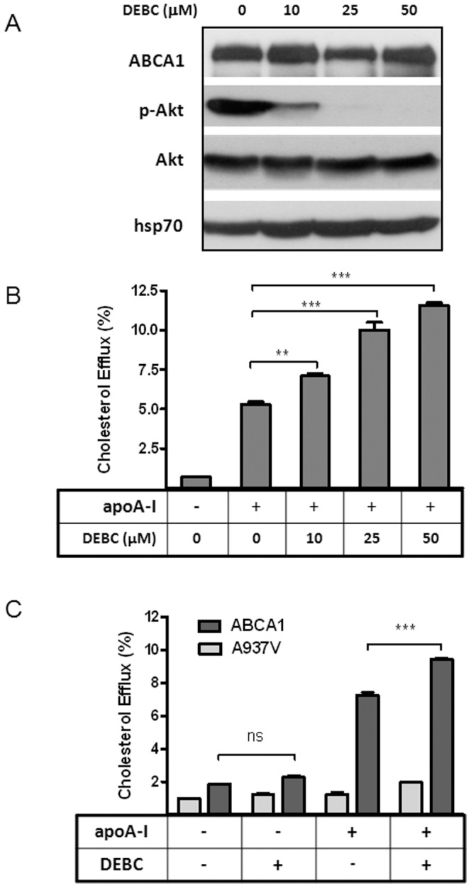 Akt inhibition by DEBC enhances cholesterol efflux to apoA-I specifically from ABCA1-expressing BHK cells. A ) BHK-ABCA1 cells were induced with mifepristone (10 nM) overnight and then incubated with indicated doses of DEBC for 2 h. Cells were then lysed and Western-blotted for ABCA1, phosphorylated Akt (p-Akt) and total Akt. Hsp70 was also blotted as loading control. B ) BHK-ABCA1 cells were labeled with [ 3 H] cholesterol and induced overnight as above. After 2 h incubation with BSA (1 mg/ml) or BSA plus apoA-I (5 µg/ml), cholesterol efflux was measured as described in the Methods section. Some of the cells were also incubated with indicated doses of DEBC, in addition to apoA-I, during 2 h efflux period. C ) BHK-ABCA1 and BHK-A937V cells were induced with mifepristone (10 nM) overnight. 2 h Cholesterol efflux was measured as above either with or without DEBC (25 µM). Results are presented as the average of triplicate wells with standard deviation and representative of more than three independent experiments. *** P