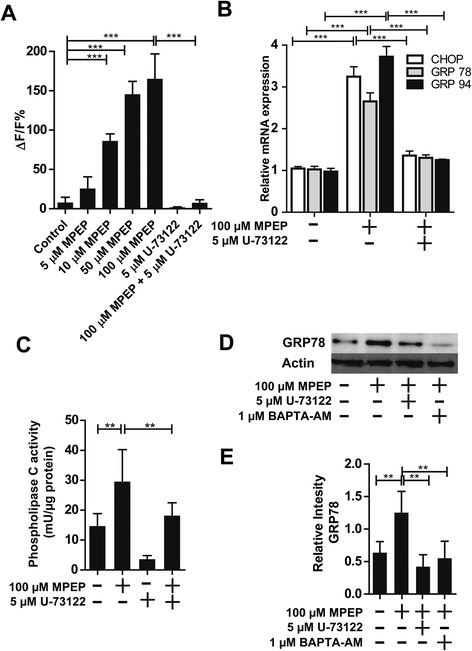 Activation of phospholipase C (PLC) upon inhibition of mGluR5. (A) Intracellular Ca 2+ concentrations were determined by measuring the fluorescence intensity of the fluorochrome Fluo-4 AM. BV-2 cells were pretreated for 1 hour with 5 μM U-73122 prior to the addition of 100 μM MPEP. Relative changes in the Ca 2+ concentrations detected by Fluo-4 AM were analyzed after 15 minutes. Results are expressed as ΔF/F (in %), with F being the baseline fluorescence and ΔF the variation of fluorescence. Data represent the mean ± SD. (B) Cells were incubated for 24 hours with 100 μM MPEP in the presence or absence of 5 μM of the phospholipase C inhibitor U-73122, followed by determination of mRNA expression of CHOP, GRP78 and GRP95 by quantitative PCR. Results were normalized to GAPDH mRNA control. Results represent the mean ± SD from three independent experiments, each performed in triplicate. (C) , BV-2 cells were incubated with 100 μM MPEP for 2 hours with or without pretreatment for 1 hour with 5 μM U-73122, followed by determination of PLC activity. PLC activity (mU/μg total protein) is given as the mean ± SD from three independent experiments. (D) BV-2 cells were incubated with 100 μM MPEP in the absence or presence of 5 μM PLC inhibitor U-73122 or 1 μM Ca 2+ chelator BAPTA-AM, followed by the determination of GRP78 protein expression by immunoblotting. (E) Densitometric analysis of GRP78 band normalized against β-actin. ** P