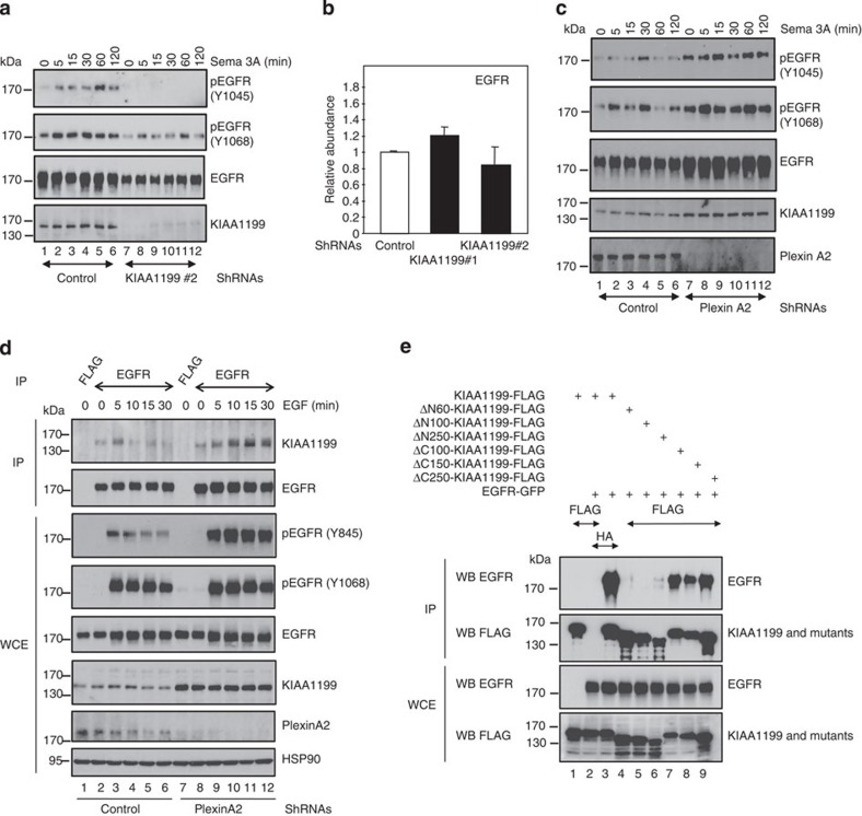 KIAA1199 connects Semaphorin 3A signalling to EGFR phosphorylation. ( a ) Semaphorin 3A-mediated EGFR phosphorylation requires KIAA1199. Control or KIAA1199-depleted CaSki cells were untreated or stimulated with Semaphorin 3A (100 ng ml −1 ) and WB analyses were carried out on the resulting cell extracts (lysis in SDS 1%). ( b ) KIAA1199 deficiency does not have an impact on EGFR mRNA levels in cervical cancer cells. Total RNAs from control or KIAA1199-depleted (shRNA KIAA1199#1 or shRNA KIAA1199#2) CaSki cells were subjected to real-time PCR, to assess EGFR mRNA levels. The abundance of transcripts in control cells was set to 1 and their levels in KIAA1199-depleted cells were relative to that after normalization with glyceraldehyde 3-phosphate dehydrogenase (GAPDH). Data from two independent experiments (means±s.d.) are shown. ( c ) Plexin A2 deficiency potentiates Semaphorin 3A-mediated EGFR phosphorylation. Control or Plexin A2-depleted CaSki cells were left untreated or stimulated with Semaphorin 3A for the indicated periods of time. The resulting cell extracts (lysis in SDS 1%) were subjected to WBs using the indicated antibodies. ( d ) Plexin A2 deficiency prolongs the binding of KIAA1199 to EGFR on EGF stimulation. Control or Plexin A2-deficient cells were untreated or stimulated with EGF for the indicated periods of time. Cell extracts were subjected to anti-FLAG (negative control) or -EGFR <t>immunoprecipitations</t> followed by anti- KIAA1199 or -EGFR WBs (top panels). Crude cell extracts were subjected to anti-pEGFR (Y845 and Y1068) (to validate the triggering of the EGF-dependent pathway), -EGFR, -KIAA1199, -Plexin A2 and -HSP90 WBs, as indicated. ( e ) KIAA1199 binds EGFR through its N-terminal domain. Cells were transfected with the indicated expression plasmids and protein extracts were subjected to anti-HA (negative control) or -FLAG IPs followed by an anti-EGFR WB (top panel). Crude cell extracts were also subjected to anti-EGFR and -FLAG WB analyse