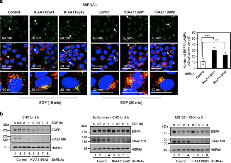 KIAA1199 limits EGF-dependent EGFR degradation through lysosomes. ( a ) KIAA1199 deficiency enhances EGFR co-localization with lysosomes on EGF stimulation. Control or KIAA1199-deficient CaSki cells were serum starved and subsequently untreated or stimulated with EGF for 15 or 30 min and subjected to immunofluorescence (IF) analyses. EGF-bound to EGFR as well as LAMP2-positive lysosomes were detected. Arrows indicates examples of EGF-bound EGFR that co-localizes with LAMP2-positive lysosomes. On the right, a quantification of co-localization of EGF-bound EGFR with LAMP2-positive lysosomes per cell on 15 min of EGF stimulation is illustrated. Values obtained in control cells was set to 1 and values obtained in other experimental conditions were relative to that. Data from one representative experiment performed in triplicates (means±s.d.) are shown (Student's t -test, P -values: ***
