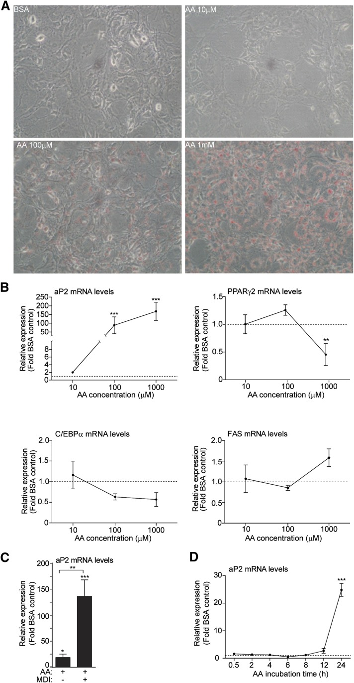 AA induces the expression of aP2 after 24 h of treatment in 3T3-L1 cells. A: Oil Red O staining of 2 day postconfluent 3T3-L1 cells (day 0) upon AA treatment (10 μM, 100 μM, and 1 mM) or fatty acid-free BSA (vehicle for AA) for 24 h. Cells were captured under a light microscope using 20× magnification. B: 3T3-L1 cells (day 0) were incubated for 24 h with BSA vehicle (set as 1, dashed line) or AA (10 μM, 100 μM, and 1 mM) in the presence of MDI. Total RNA was harvested and RT-PCR was performed. Mean values are shown of n = 3 and error bars represent ±SEM. Statistical significance was determined by a Student's t -test (two-tailed). ** P