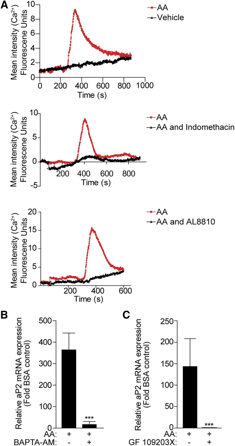 The calcium and PKC signaling pathway mediates the effect of AA on aP2 expression. A: 3T3-L1 cells (day 0) were loaded with calcium-sensitive Fluo-4 before stimulation with 10 μM AA (red line) or BSA-vehicle (black line), and calcium mobilization was determined by live cell imaging for 10–15 min (top panel). Cells were pretreated with indomethacin (10 μM) (middle panel) or AL 8810 (10 μM) (lower panel) for 30 min before stimulation with AA (10 μM). A representative experiment from three independent experiments is shown. B, C: 3T3-L1 cells (day 0) were pretreated with BAPTA-AM (30 μM) or GF109203X (10 μM), as indicated, for 30 min prior to 100 μM AA treatment for 24 h. Total RNA was extracted and subjected to RT-PCR for aP2 mRNA transcript. Data are presented as mean ± SEM of n = 3. *** P